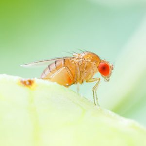 How do men and women store fat differently? Ask the fruit fly.